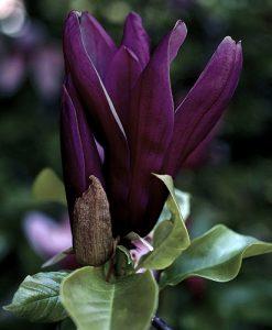 Magnolia 'Black Beauty' bush bare root