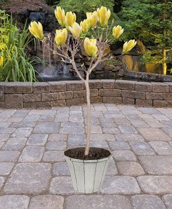 Magnolia 'Yellow Bird' half std 80cm bare root