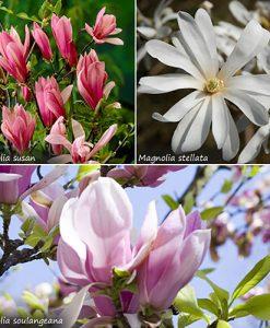 Magnolia tree Collection - set of 3 varieties in 9cm pots
