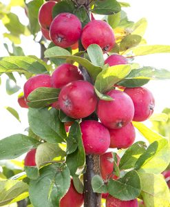 Malus Appletini 13cm potted