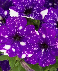 NEW Spotted Petunia 'Night Sky' Bedding Plant Pack of 12 Jumbo Plugs