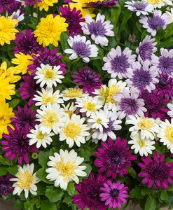 Pack of 12 Double Osteospermum Cape Daisy Plug Plants for Pots and Patios