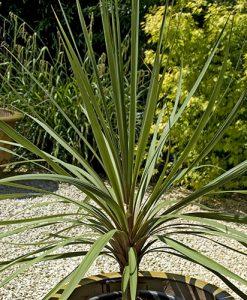 Pair of Cordyline australis (Torbay Palm) green 1M tall plants