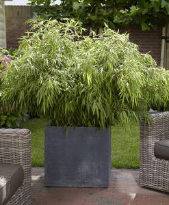 Pair of Fargesia 'Fountain' Bamboo plants in 2L pots 40cm tall