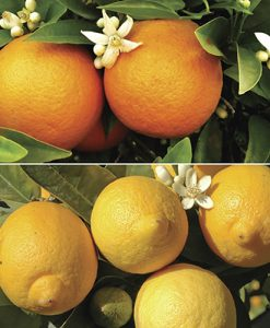 Pair of Large Citrus Trees in 6.5L pots with FREE Citrus Feed 150g soluble