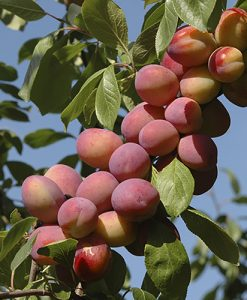 "Plum ""Victoria"" bare root tree (Prunus domestica)"
