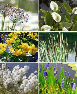 Pond Plant Collection 6 x 9cm