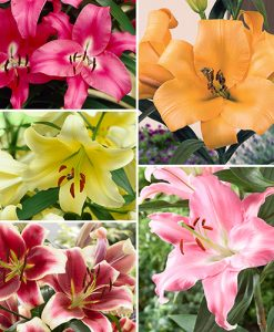Premiuim  Skyscraper Lily collection x 25 Large Bulbs 5 Packs Of 5