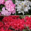 Rhododendron Collection 3 colours x 4L