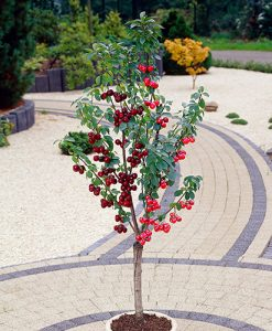 Stella & Morello Cherry Patio Fruit Tree - 2 Varieties on 1 Bare Root Tree