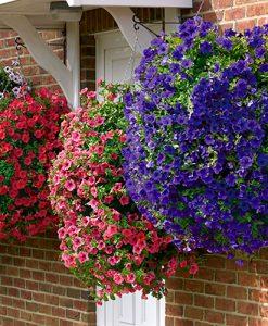 Surfinia Trailing Petunia Hanging Basket/Bedding Plants - Pack of 12 Jumbo Plugs