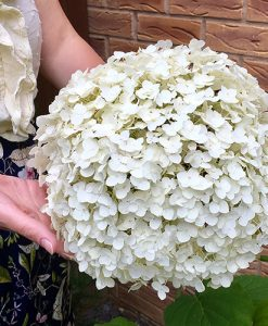 """Tree Hydrangea """"Incrediball"""" (Strong Annabelle) plant in 3L pot"""