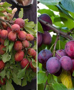 Victoria & Czar Plum Patio Fruit Tree - 2 Varieties on 1 Bare Root Tree