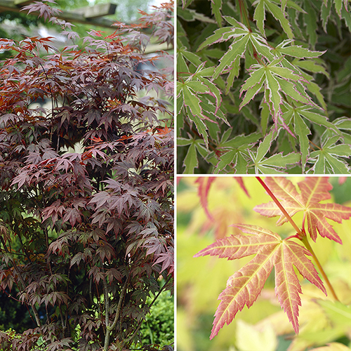 Japanese Maple Acer Collection YouGarden