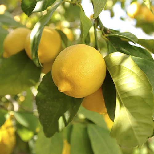 Large Lemon tree in 6.5L pot YouGarden