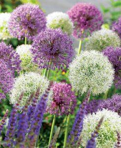 Allium 'Big Impact Mix'