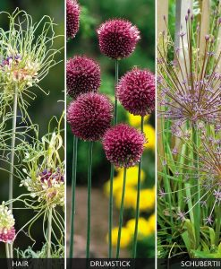 Allium 'Hairy Collection'