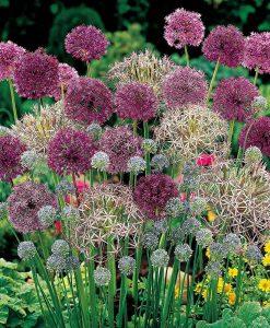 Allium 'Lover's Collection'