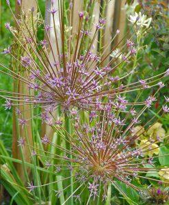 Allium 'Schubertii'