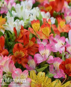 Alstroemeria 'Garden Hybrids'