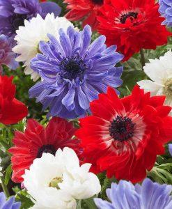 Anemone coronaria 'Union Jack Blend'