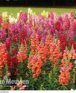 Antirrhinum 'Autumn Dragons Mixed' (Garden Ready)