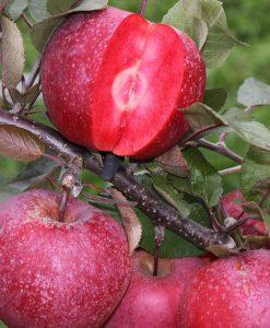 Apple 'Baya Marisa'