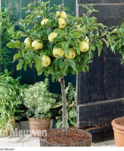 Apple 'Golden Delicious' (Mini Fruit Tree)