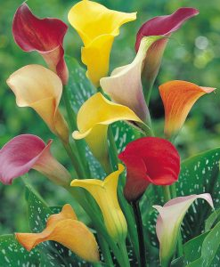 Arum Lily 'Spectrum Mixed'