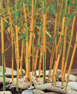 Bamboo 'Gold'