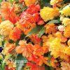 Begonia 'Apricots and Lemons'