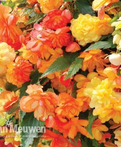 Begonia 'Apricots and Lemons'