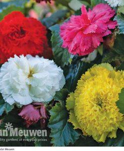Begonia 'Fringed'
