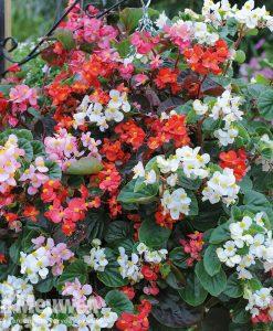 Begonia semperflorens 'Summer Jewels Mixed'