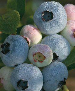 Blueberry 'Chandler'