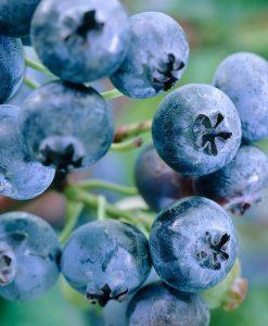 Blueberry 'Earliblue'