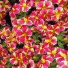 Calibrachoa 'Candy Bouquet'