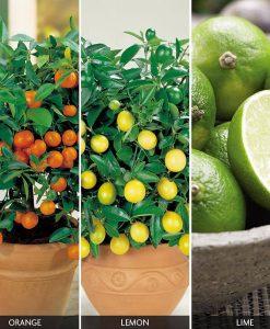 Citrus Tree 'Trio Collection'