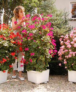 Climbing Antik Geranium Collection x 9 Jumbo Plug Plants