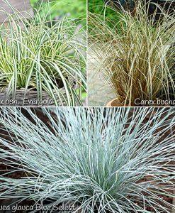 Colourful Ornamental Grasses Collection x 6 plants in 9cm pots