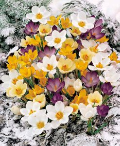 Crocus 'Winter Flowering'