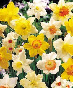 Daffodil 'Bumper Collection'