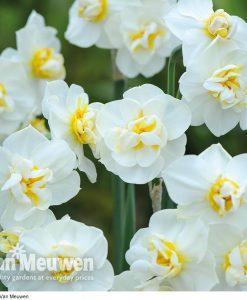 Daffodil 'Cheerfulness'