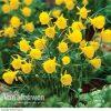 Daffodil 'Golden Bells'