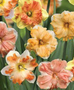 Daffodil 'Sunrise Butterflies'