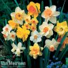 Daffodil 'Sunshine Mix'