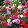 Dianthus 'Mixed'