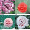 Dianthus 'Scented Collection'