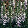Foxglove 'Camelot Lavender'