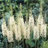 Foxtail Lily 'Tropical Dream'
